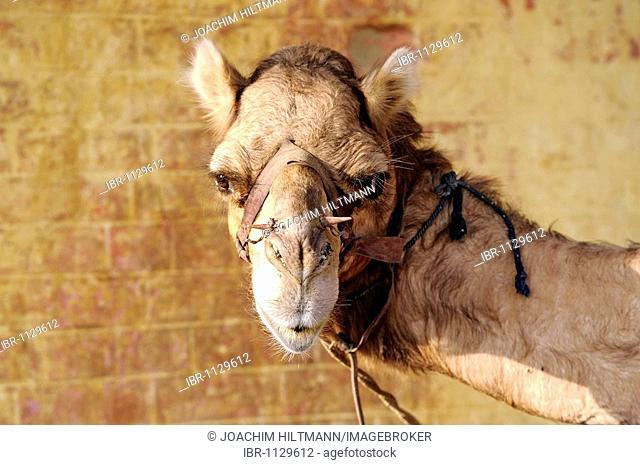 Portrait of a dromedary camel (Camelus dromedarius), National Camel Research Farm, Bikaner, Rajasthan, North India, South Asia