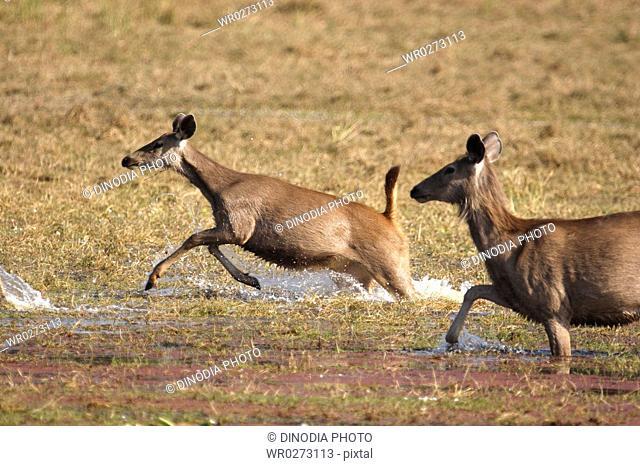 Sambar Deer Cervus unicolor running in Rajbagh lake , Ranthambore National Park , Rajasthan , India