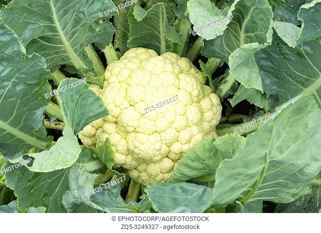 Cauliflower vegetables close-up, cauliflower in the green organic farm