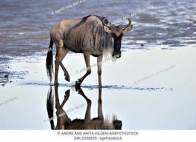 Young wildebeest (Connochaetes taurinus), gnu, walking through water, reflected in water, Ndutu, Serengeti national park, Tanzania