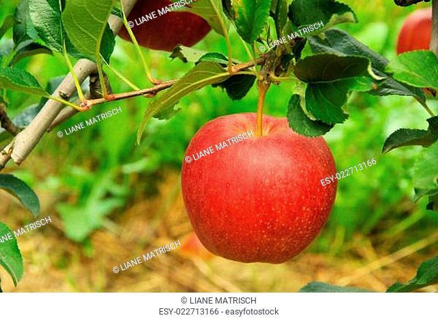 Apfel am Baum - apple on tree 09