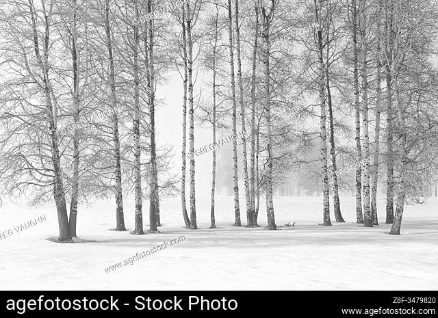Aspen trees with fog and winter snow; Crater Lake Highway near Fort Klamath, Oregon