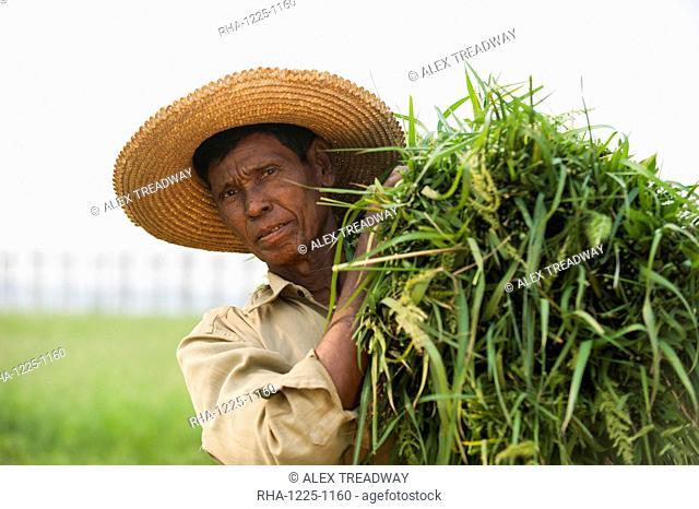 A man holds a bundle of grass which he has cleared from rice paddies, Mandalay State, Myanmar (Burma), Asia