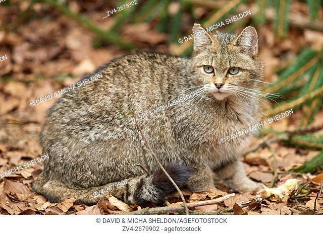 Close-up of a European wildcat (Felis silvestris silvestris) in the bavarian forest in spring