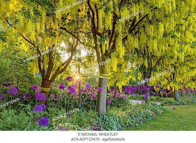 laburnum trees, VanDusen Botanical Garden, Vancouver, British Columbia, Canada