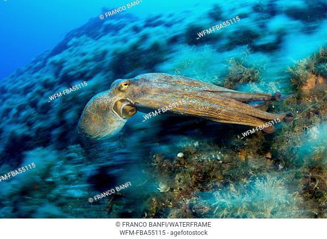 Octopus, Octopus vulgaris, Ponza, Italy