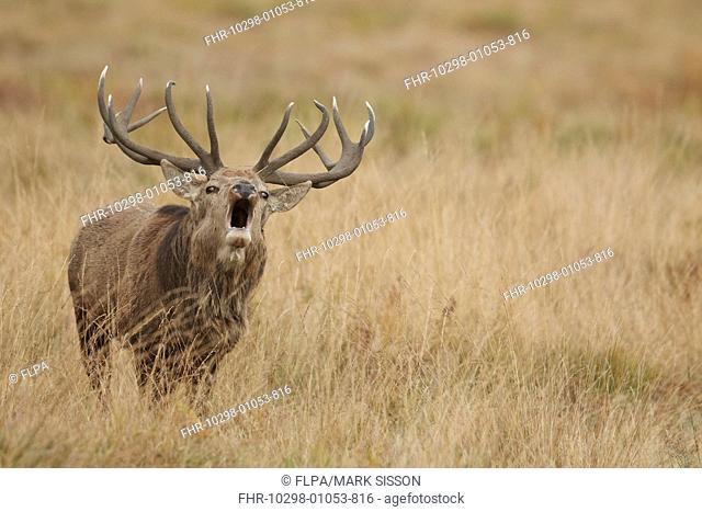 Red Deer (Cervus elaphus) mature stag, roaring during rutting season, Bradgate Park, Leicestershire, England, October