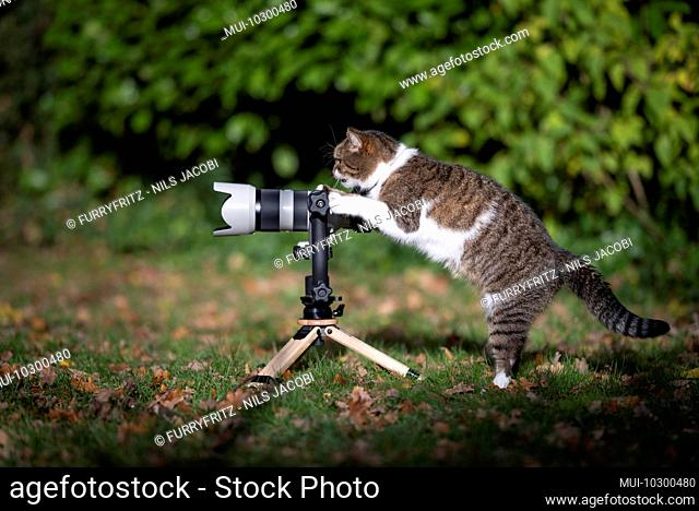side view of a tabby white british shorthair cat standing behind mirrorless camera with tele lens on a tripod looking like a photographer