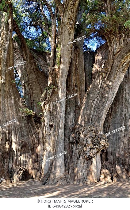 Arbol del Tule, cypress (Taxodium mucronatum), trunk, detail, the thickest tree in the world, Santa Maria del Tule, Oaxaca, Mexico