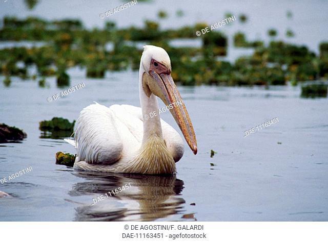 Great white Pelican, Eastern white pelican, Rosy pelican (Pelecanus onocrotalus), Pelecanidae