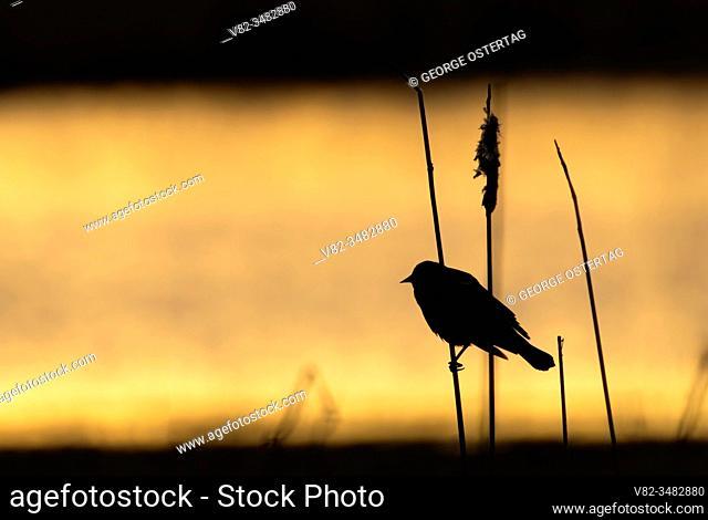 Red-winged Blackbird (Agelaius phoeniceus) silhouette, William Finley National Wildlife Refuge, Oregon