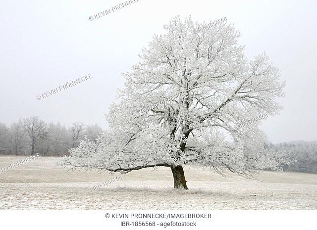 Tree with hoarfrost in winter, Harz mountain range, Saxony-Anhalt, Germany, Europe