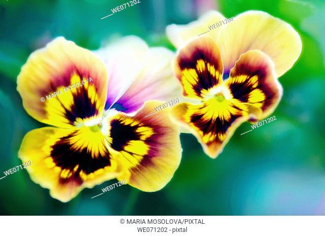 Two Pansy Flowers. Viola x wittrockiana. July 2006, Maryland, USA