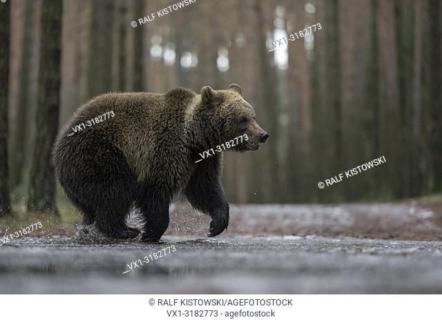 Eurasian Brown Bear ( Ursus arctos ) on its way through a frozen puddle, crossing a forest road, in winter, looks funny, Europe