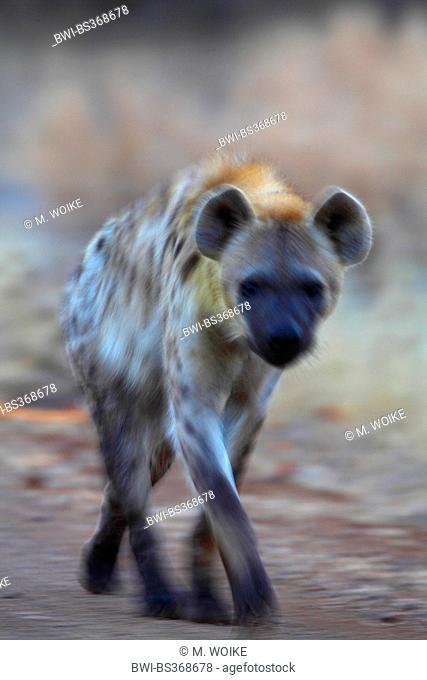 spotted hyena (Crocuta crocuta), walks at dawn, South Africa, Kruger National Park