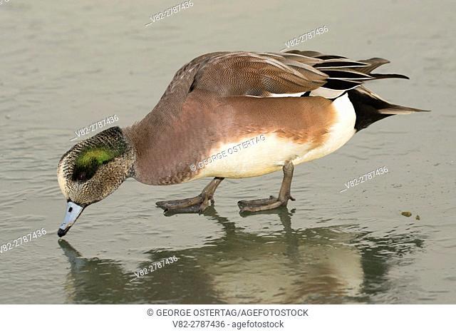 Widgeon, George C Reifel Migratory Bird Sanctuary, British Columbia, Canada
