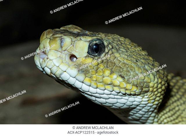 Neotropical Rattlesnkae (Crotalus durissus) - captive