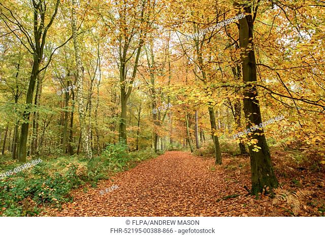Common Beech (Fagus sylvatica) woodland habitat, with leaves in autumn colour, Beacon Hill, Charnwood Forest, Leicestershire, England, November