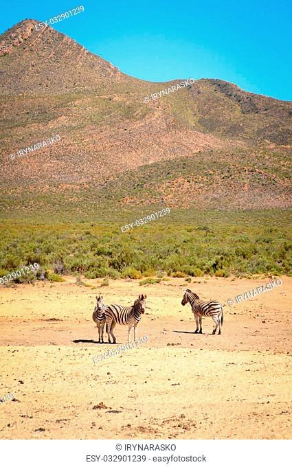 Three small zebra in yellow savanna against the mountain