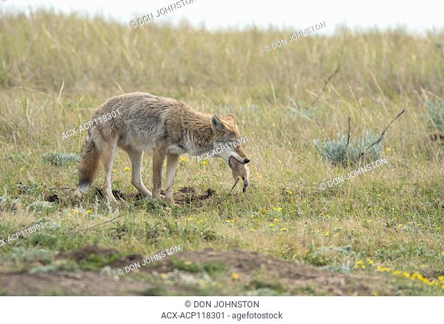 coyote hunting, Black-tailed prairie dog, Cynomys ludovicianus, Theodore Roosevelt NP (South Unit), North Dakota, USA