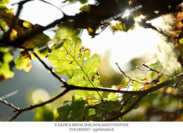 English oak, pedunculate oak or French oak (Quercus robur) leaves in a forest in autumn
