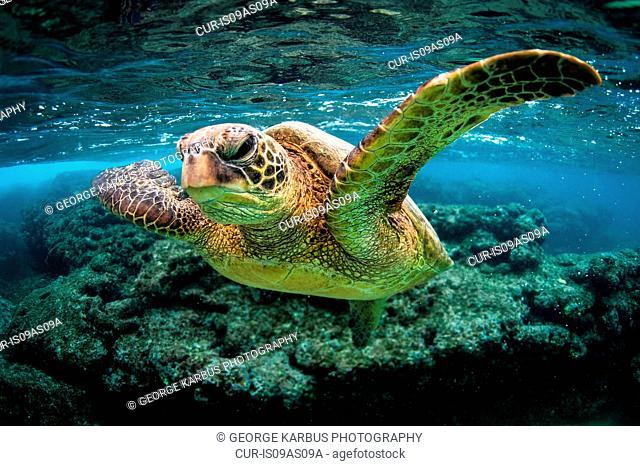 Turtle in sea, Kauai island, Hawaii Islands