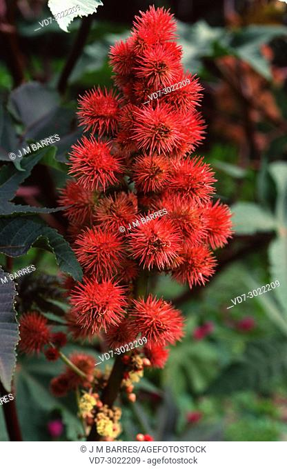 Castor bean or castor oil plant (Ricinus communis) is a shrub or small tree native to eastern Mediterranean Basin and India but widely naturalized in many...