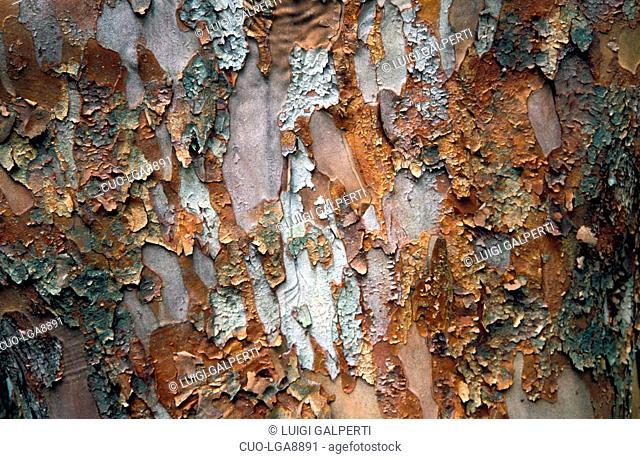 Stewartia sinensis, bark