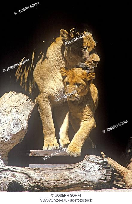 Transvaal Lion and cub, Panthera leo krugeri from Republic of South Africa