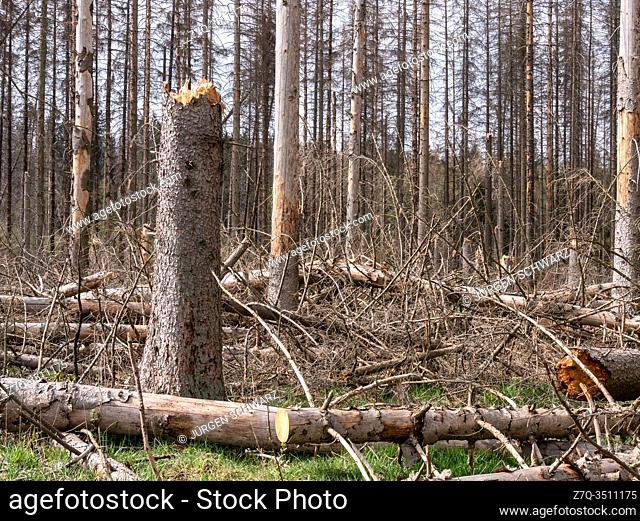 A spruce stand destroyed by the bark beetle lies partially fallow in a piece of forest in the Eifel, NRW, Germany