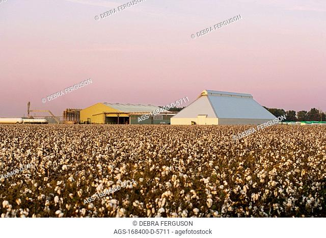 Agriculture - Field of harvest stage cotton with fully opened bolls at sunset with a cotton gin and shed in the background / near Yazoo City, Mississippi, USA