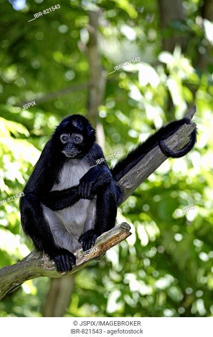 Mature Geoffroy's or Black-handed Spider Monkey (Ateles geoffroyi) sitting on a branch, Roatan, Honduras, Central America