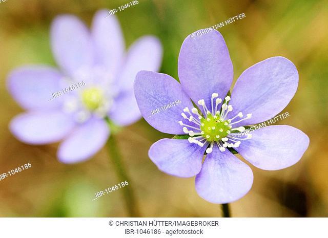 Kidneywort, Liverwort or Pennywort (Hepatica nobilis), Provence, Southern France, France, Europe