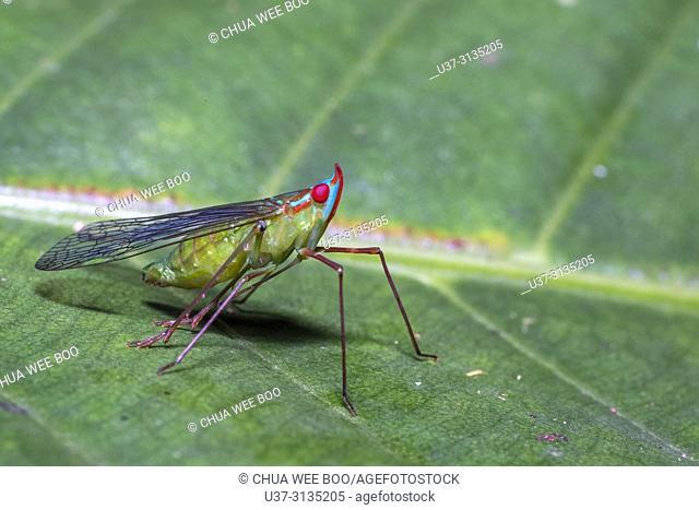 Leaf hopper. Image taken at Stutong Forest Reserve Park, Kuching, Sarawak, Malaysia