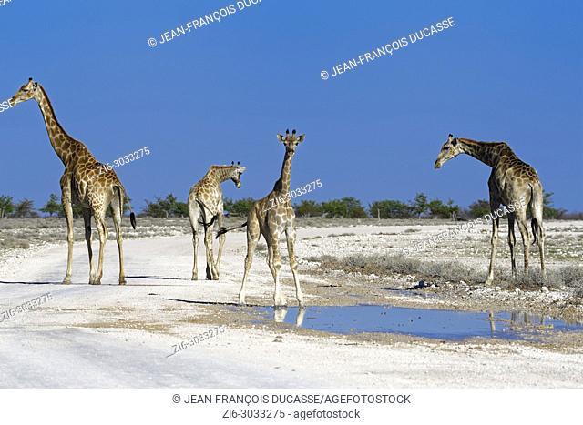 Namibian giraffes or Angolan giraffes (Giraffa camelopardalis angolensis), herd gathered around a puddle of rainwater, on a dirt road, Etosha National Park