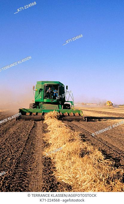 Combine bean harvesting. Canada