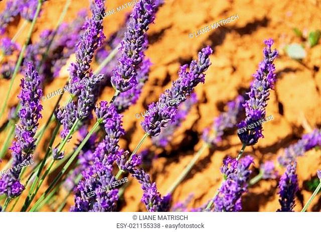 Lavendel - lavender 110