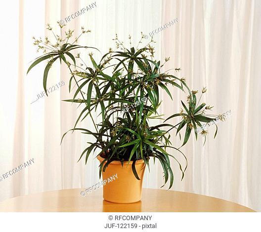 dwarf umbrella grass / Cyperus diffusus