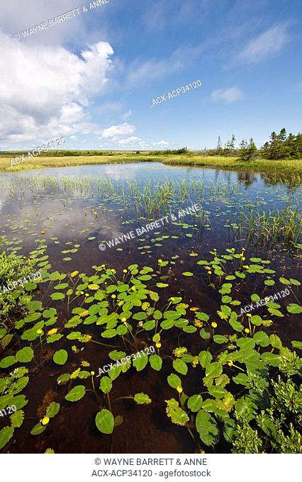 Yellow Pond-Lily Nuphar lutea in a pond in the Avalon Wilderness Area, Newfoundland and Labrador, Canada