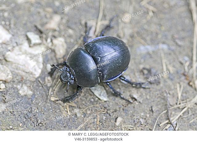 Dor Beetle, Spring Dor Beetle, Trypocopris vernalis is large earth-boring dung beetle that inhabits wooded area. Dor beetles are the janitors of the environment