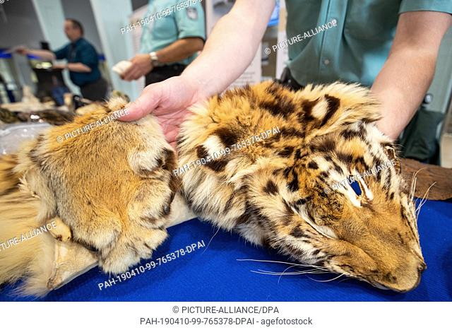 10 April 2019, Bavaria, Nürnberg: A tiger skin confiscated by customs lies at Nuremberg airport as part of a presentation by customs and the Federal Agency for...