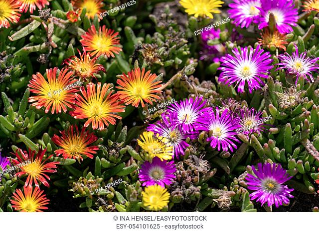 Orange and purple blooming ice plants (Delosperma cooperi) in a sunny summer flower bed