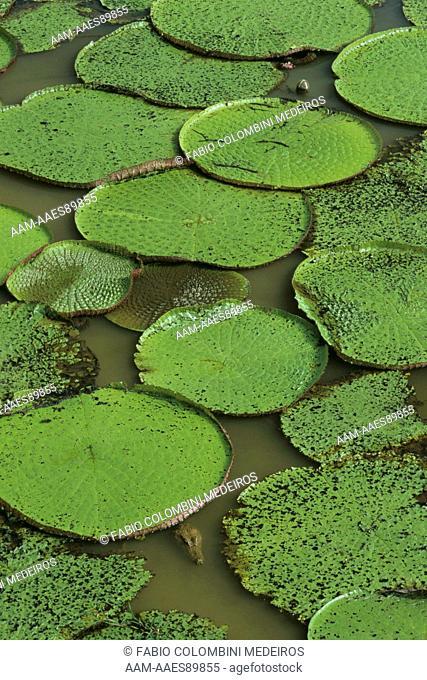 Amazon Water Lilies (Victoria amazonica) Amazonas - Brazil
