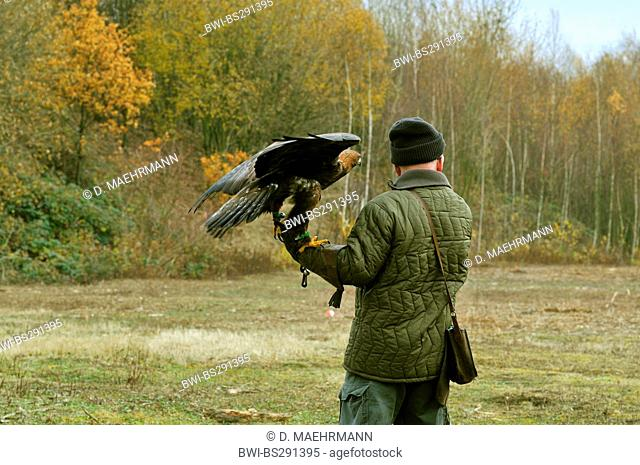 golden eagle (Aquila chrysaetos), on the arm of a falconer, Germany