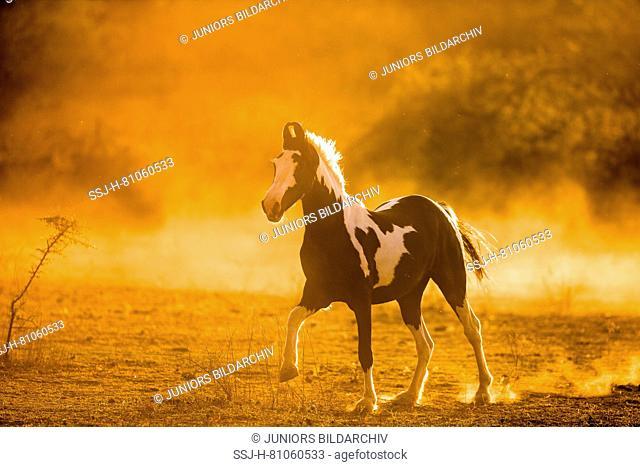 Marwari Horse. Piebald mare galloping in evening light. India