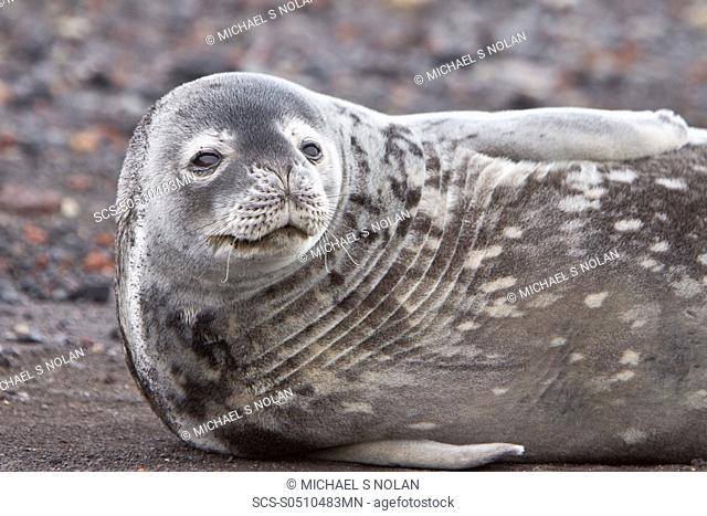 Weddell Seal Leptonychotes weddellii hauled out on ice near the Antarctic Peninsula, southern Ocean This is the most southerly breeding seal in the world