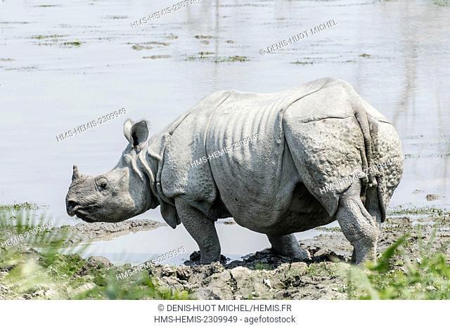 India, Assam, Kaziranga national park, listed as World Heritage by UNESCO, indian rhinoceros (Rhinoceros unicornis), going to bath