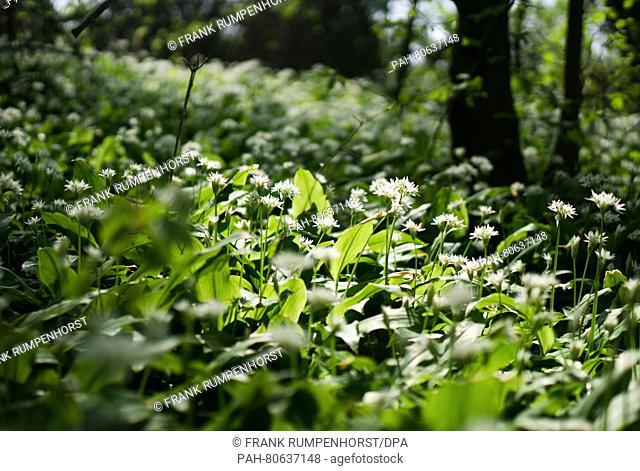 Wood garlic growing in the city forest of Bad Vilbel, Germany, 01 May 2016. Photo:FRANKRUMPENHORST/dpa | usage worldwide. - Bad Vilbel/Hesse/Germany