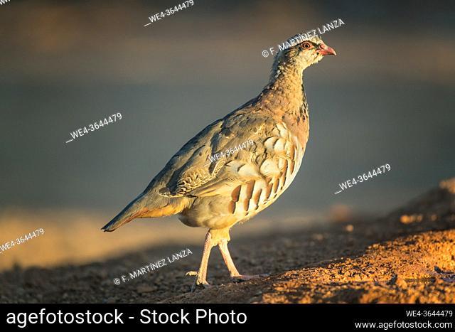 Red partridge walking in the field