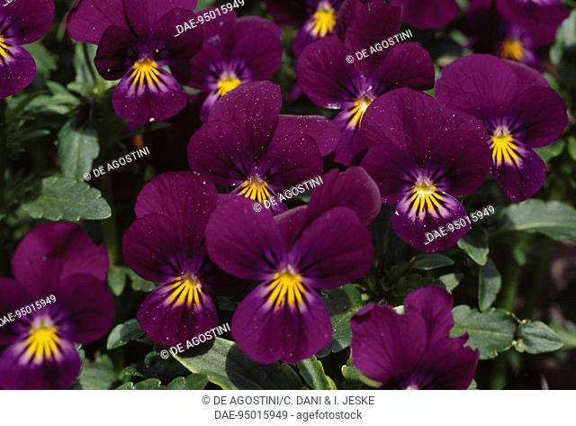 Sweet Violet (Viola odorata), Violaceae